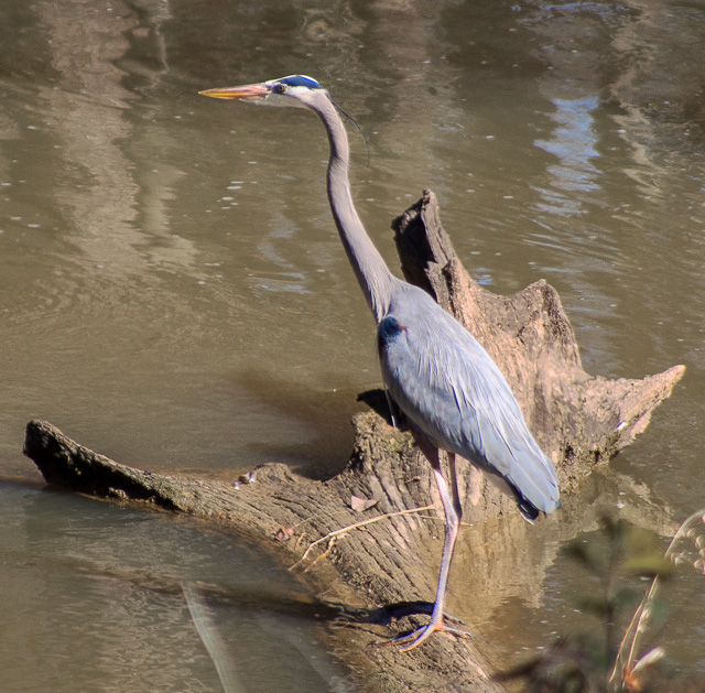 Great Blue Heron on a log in a stream