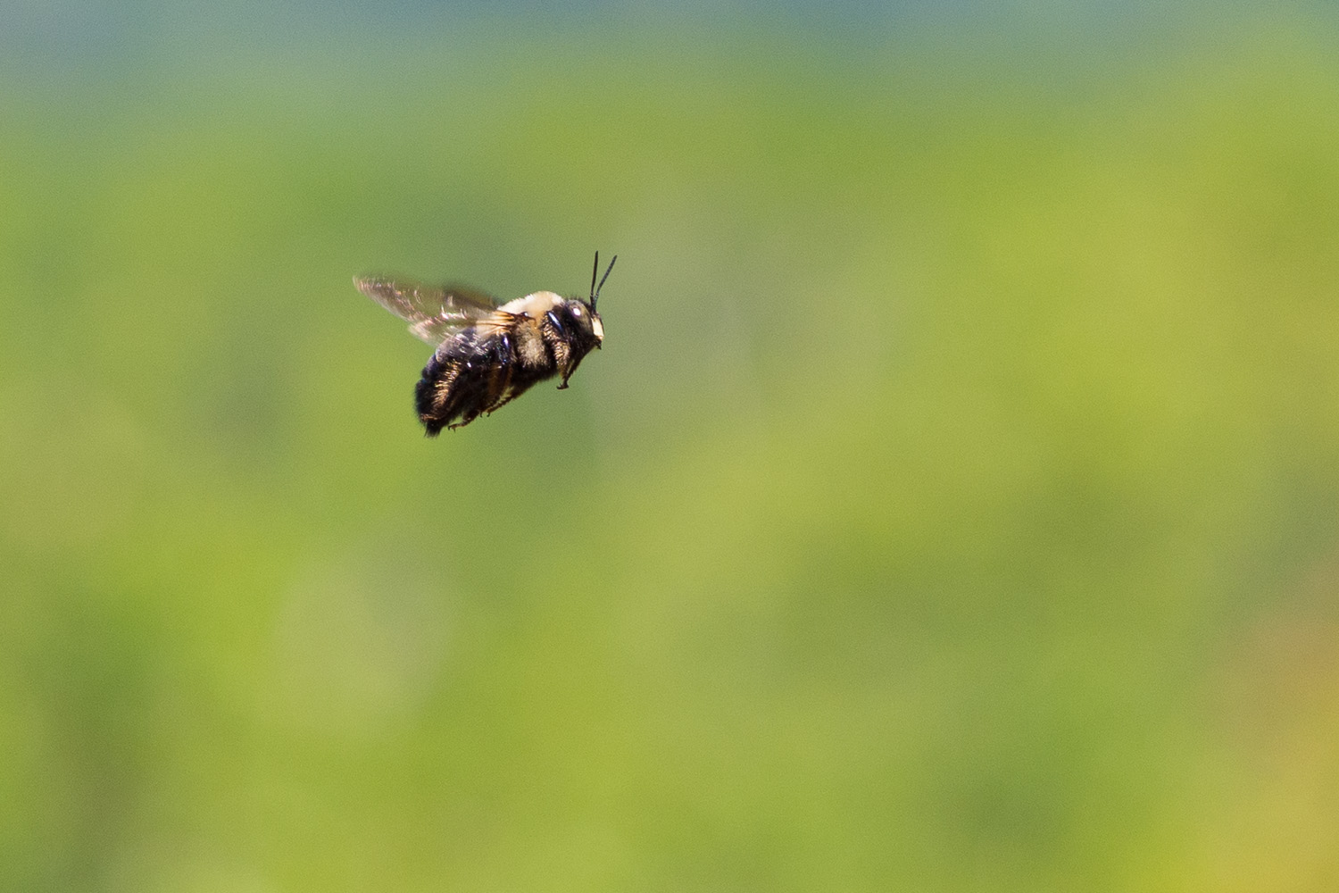 bumblebee in flight